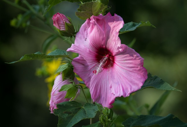 Pink Hibiscus flower with red center and long withe and pink stigma.