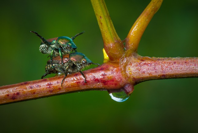 Japanese beetles mating.