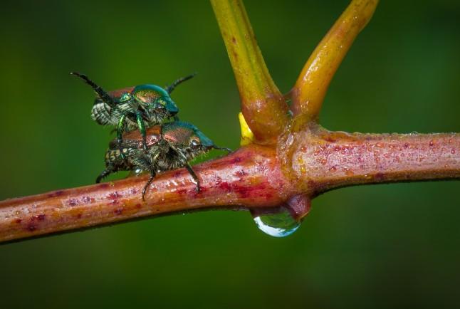 Japanese beetles mating.