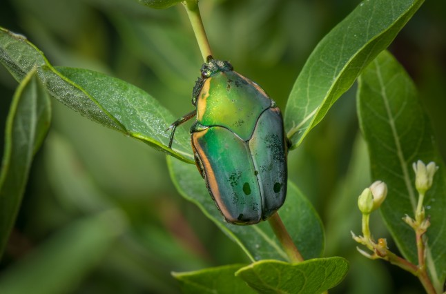 Green June beetle.